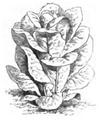 Romaine verte d'hiver Vilmorin-Andrieux 1883.png