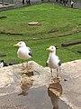 Roman Seagulls.jpg