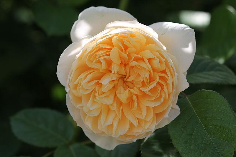 File:Rosa 'Jane Austen' 1990.jpg