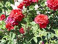 Rosa 'ORAdal' Orard 1998 RPO1.jpg