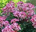 "Rosa ""American Pillar"". 06.jpg"