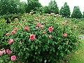 Rosa Benjamin Britten 2019-06-07 1272.jpg