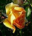 Rosa Helen Hayes 2.jpg
