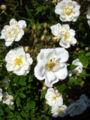 Rosa Lykkefund2UME.jpg