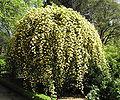 Rosa banksiae 'Lutea'.jpg