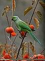 Rose-ringed Parakeet (Psittacula krameri) (24295715396).jpg