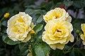 Rose 'Lichtkönigin Lucia' - Flickr - blumenbiene.jpg