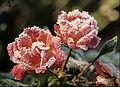 Roses givrées 01.jpg