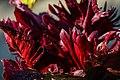 Rote Tulpe - Flickr - blumenbiene.jpg