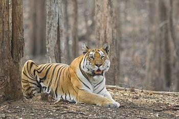 Royal Bengal Tiger-0034.jpg