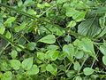 Rubia cordifolia 03.JPG