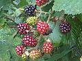 Rubus fruticosus wetland 19.jpg