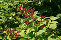 Rubus phoenicolasius 5449877.jpg