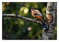 Rufous Sibia bird.jpg