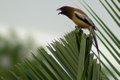 Rufous Treepie (Shankar).jpg