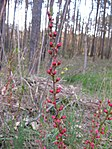 Ruhland, Grenzstr., Waldrand gegenüber Hausnr. 3, Mandelstrauch mit Blütenknospen, Frühling, 04.jpg