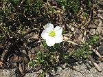 Ruhland, Grenzstr. 3, Berg-Sandkraut, Blüte am Polster, Frühling, 02.jpg