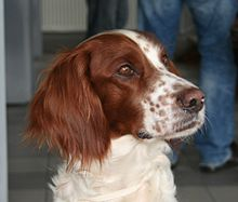 Rzeszów Irish Red and White Setter 1pl.jpg