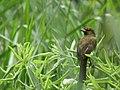 SSS Pycnonotus Bimaculatus West Java.jpg