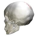 Sagittal suture - skull - posterior view01.png
