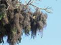 Sakalava Weaver nests RWD.jpg