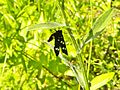 Saletto-farfalla 1.jpg
