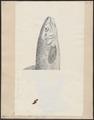 Salmo fario ausonii - 1700-1880 - Print - Iconographia Zoologica - Special Collections University of Amsterdam - UBA01 IZ14800023.tif