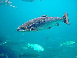 Salmo salar-Atlantic Salmon-Atlanterhavsparken Norway.JPG