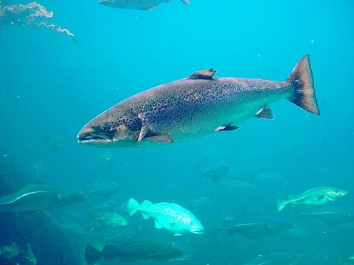 Salmo salar-Atlantic Salmon-Atlanterhavsparken Norway