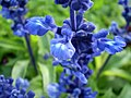 Salvia farinacea 0.6 R.jpg