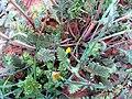 Salvia verbenaca StemsLeaves 2009-4-11 DehesaBoyalPuertollano.jpg
