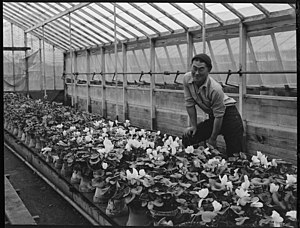 Cyclamen persicum - Cyclamen persicum cultivars in a Californian nursery operated by Japanese horticulturalists