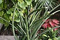 Sansevieria cylindrica 4zz.jpg