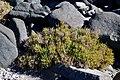 Sarcocornia pillansii (Chenopodiaceae) (36791978583).jpg
