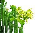 Sarracenia oreophila 001.jpg