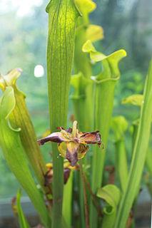 <i>Sarracenia alabamensis</i> species of plant