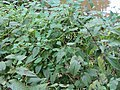 Saururus cernuus 4zz.jpg