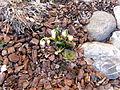 Saxifragales.2069.JPG