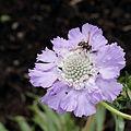 Scabiosa caucasica-IMG 6167.jpg