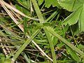 Scabiosa columbaria (2).JPG