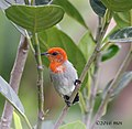 Scarlet-headed Flowerpecker (Dicaeum trochileum) of Jakarta, Indonesia.jpg