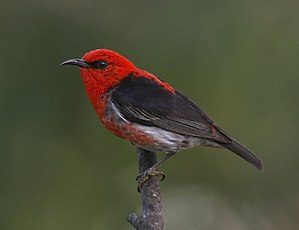 Scarlet myzomela - Male