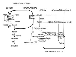 Hepcidin - Diagram showing how hepcidin controls ferroportin (FPN) levels which in turn control entry of iron into the circulation