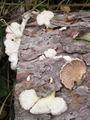 Schizophyllum commune 041024w.jpg