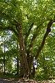 Schleswig-Holstein, Oelixdorf, Naturdenkmal NIK 6789.JPG