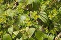 Schlitz Eisenberg NR 165214 Rohrwiesenbachtal und Eisenberg Swamp Caltha palustris 05 SO.png