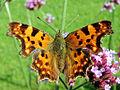 Schmetterling02.JPG