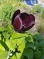 Schwarze Tulpe.jpg
