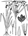 Scirpus cyperinus BB-1913.png