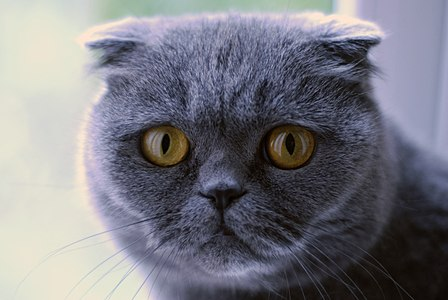 Scottish Fold cat, ussually used as a domestic animal.